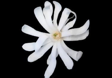 yıldız manolya çiçeği