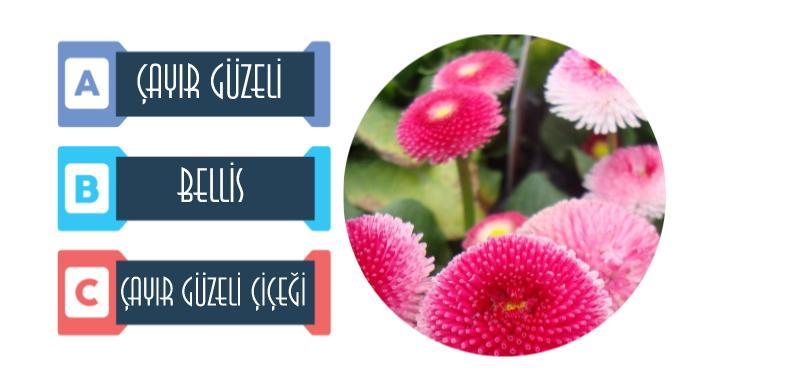 Bellis çayır güzeli çiçeği