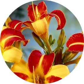 Güngüzeli Çiçeği