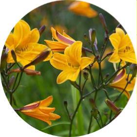 Güngüzeli çiçeği Hemoracallis hybrida