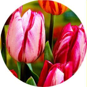 Lale Tulipa hybrida