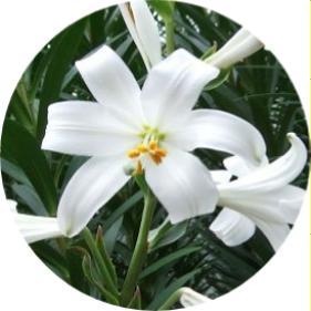 Lilium candidum zambak