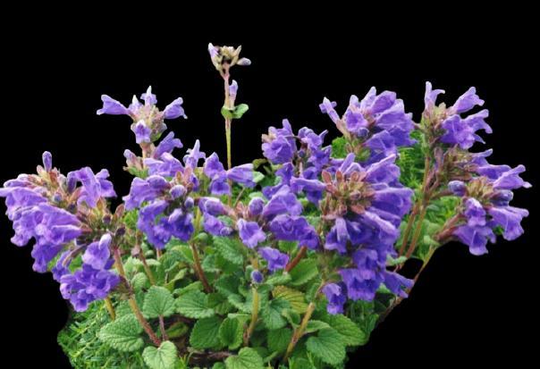 Moldavian balm bitkisinin faydaları