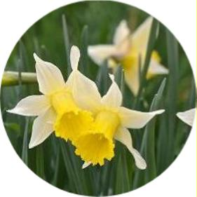 Nergis Narcissus pseu