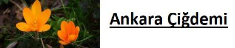 Ankara çiğdemi nedir?