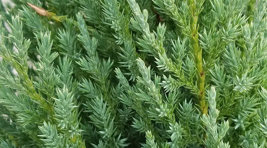 ardıç ağacı hakkında bilgi