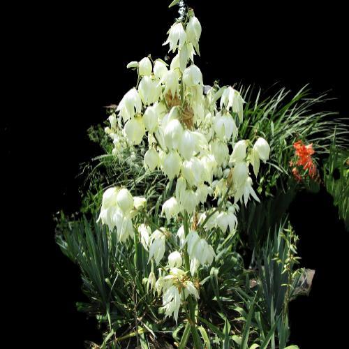 avize çiçeği nedir