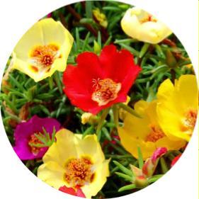 bir yıllık çiçek isimleri