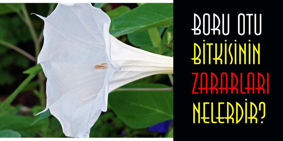 boru otu bitkisinin zararları nelerdir