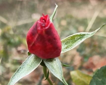 çalı gülleri