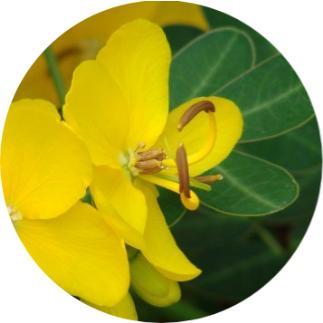 cassia, sinameki bitkisi, sinameki faydaları