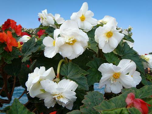 çok yıllık çiçek çeşitleri