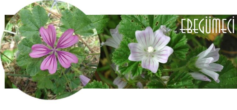 ebegümeci çiçeği faydaları