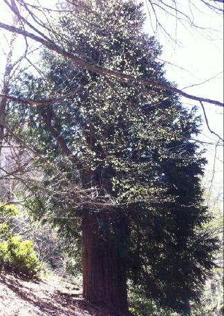 en yaşlı porsuk ağacı
