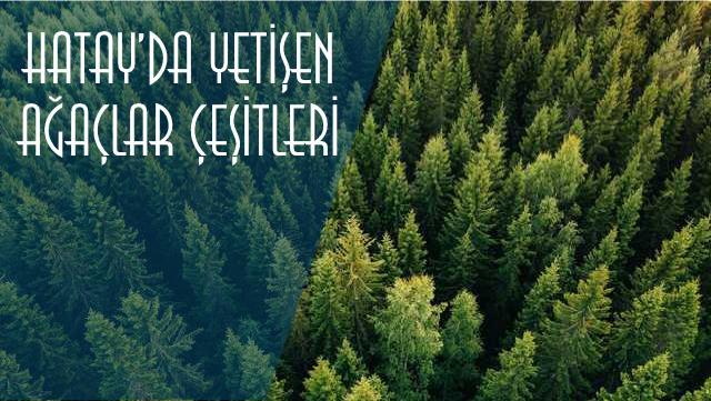 hatayda yetişen ağaçlar