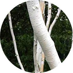 huş ağacı nedir