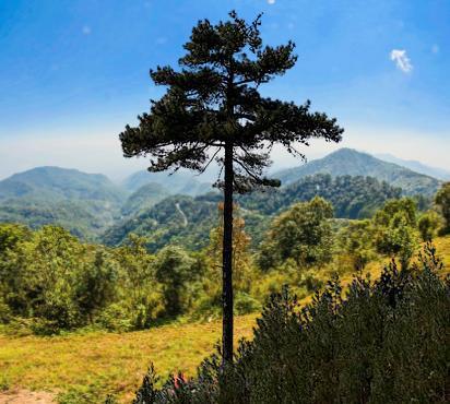 kızılçam ağacı
