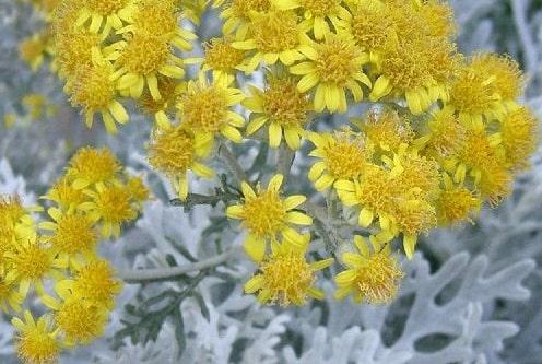 kül çiçeği nedir, kül çiçekleri