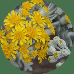 kül çiçeği özellikleri