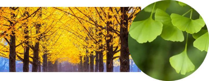mabet ağacı