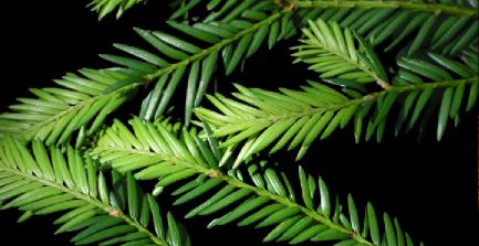 porsuk ağacı yaprağı