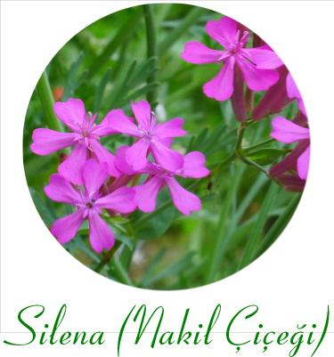 silena nakil çiçeği