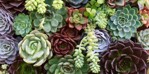 sukkulent bitkiler