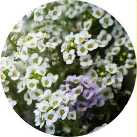 tek yıllık açan çiçek isimleri