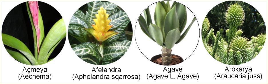 yaprakalrı güzel olan saksı bitkileriyaprakalrı güzel olan saksı bitkileri
