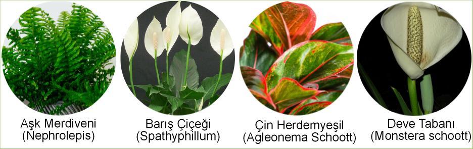 yaprakları güzel iç mekan saksı bitkisi