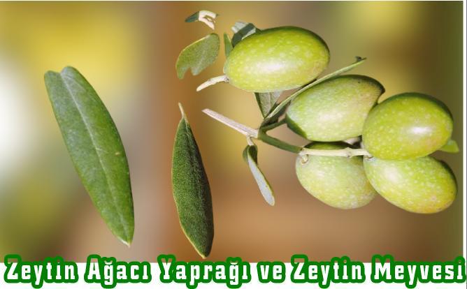zeytin ağacı budama ayları