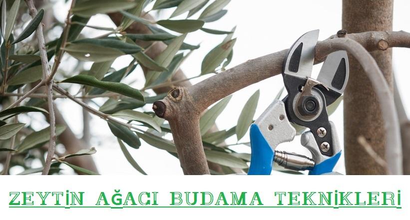 zeytin ağacı budama zamanı