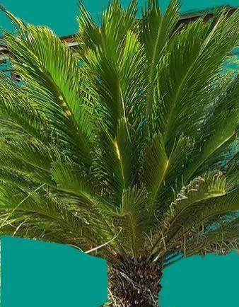 Cycadales yalancı palmiye