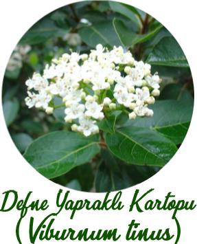 Defne Yapraklı Kartopu (Viburnum tinus)