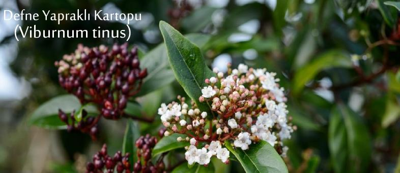 Defne Yapraklı Kartopu ağacı