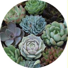 Echeveria türleri, Echeveria çiçeği Bakımı, Echeveria elegans, Echeveria sukulent, Echeveria nodulosa bakımı, Sukulent echeria, Echeveria türkçesi, Echeveria önemli türleri