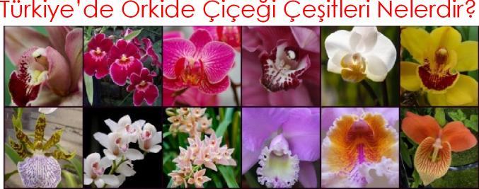 Orkide Çiçeği Çeşitleri Nelerdir, Orkide isimleri