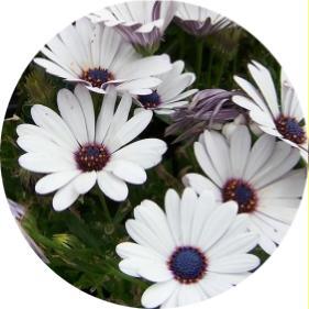 bodrum papatya çiçeği bakımı