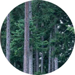 doruk ağacının diğer adı