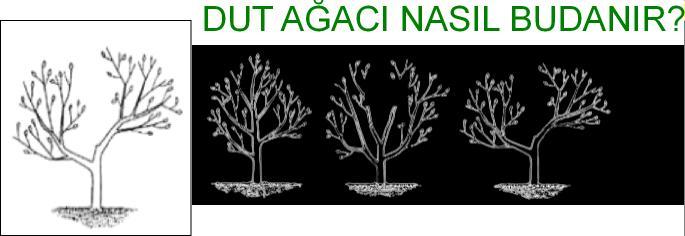 dut ağacı budama