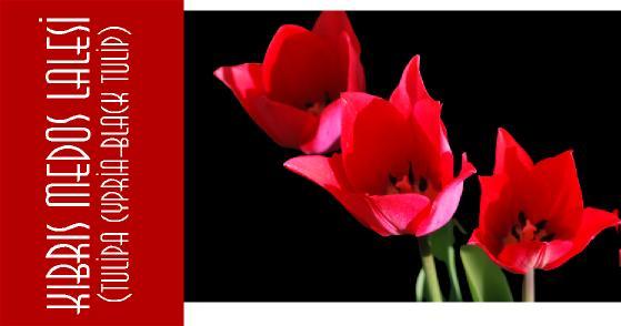 kıbrısta yetişen çiçekler