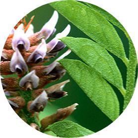 meyan bitkisi nedir