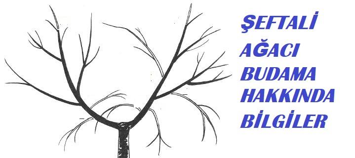 şeftali ağacı ne zaman budanır
