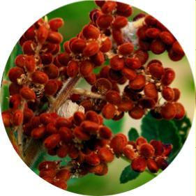 sumak ağacı, sumağın faydaları