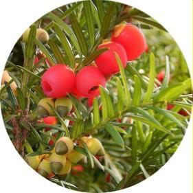 sütun formlu porsuk ağacı
