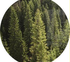 ülkemizde haç hektar çam ağacı vardır?