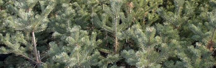 Çam ağacı budama kesme yasak mı