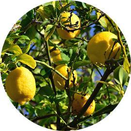 Yediveren limon ağacı hastalıkları nelerdir?