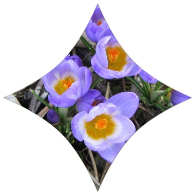 çiğdem çiçeği saksıda yetişir mi