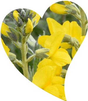 endemik sarı çiçek